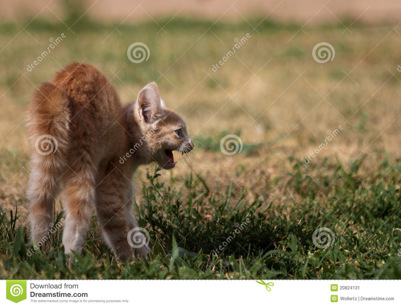 Angry kitten stock image  Image of park, home, idaho - 20824131