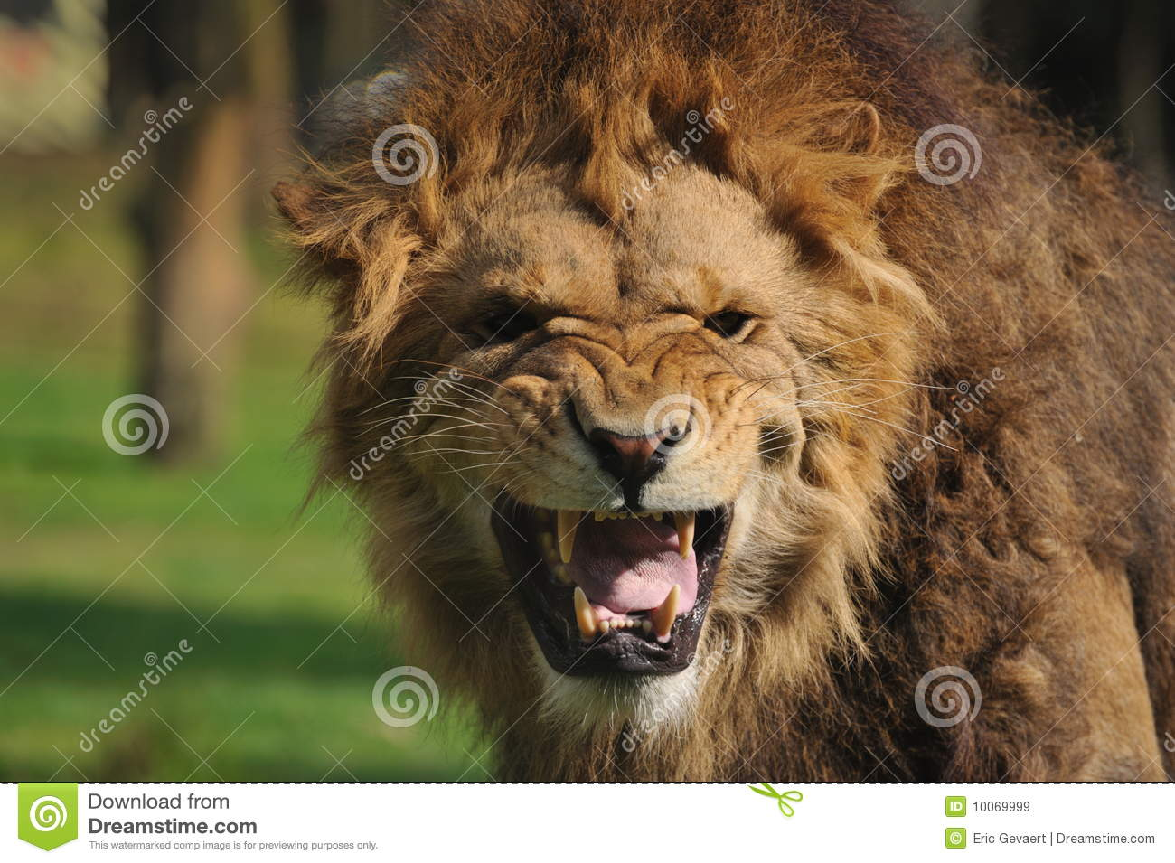 Angry Lion Stock Image Image Of Outdoor Environment