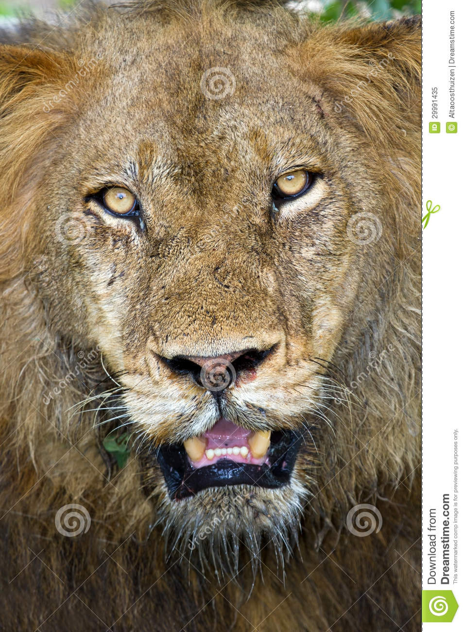 Angry lion face images
