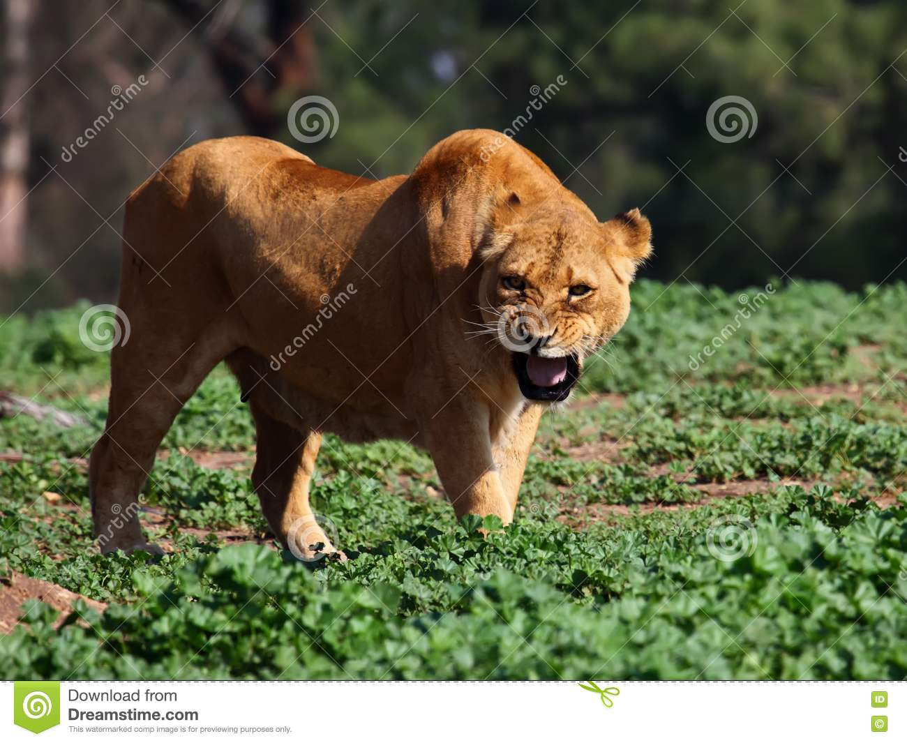 angry lioness - photo #39
