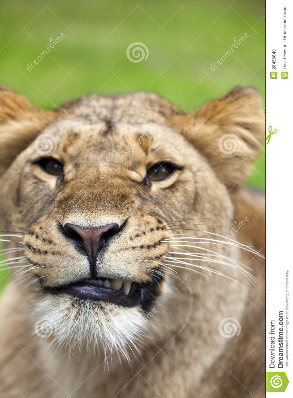 Angry Lioness Stock Photo - Image: 26455640