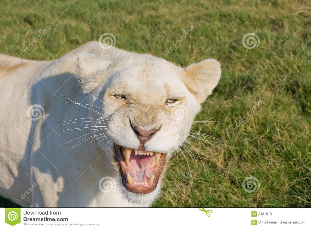 Angry Lioness Royalty Free Stock Photos - Image: 3431518