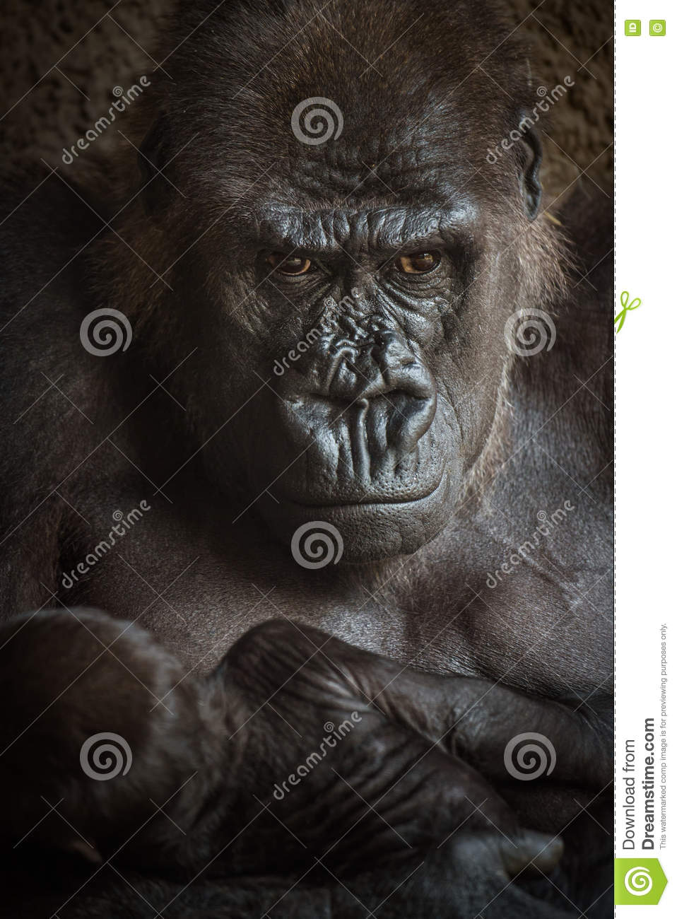 Angry-looking Gorilla With A Baby Stock Image - Image of ... - photo#26