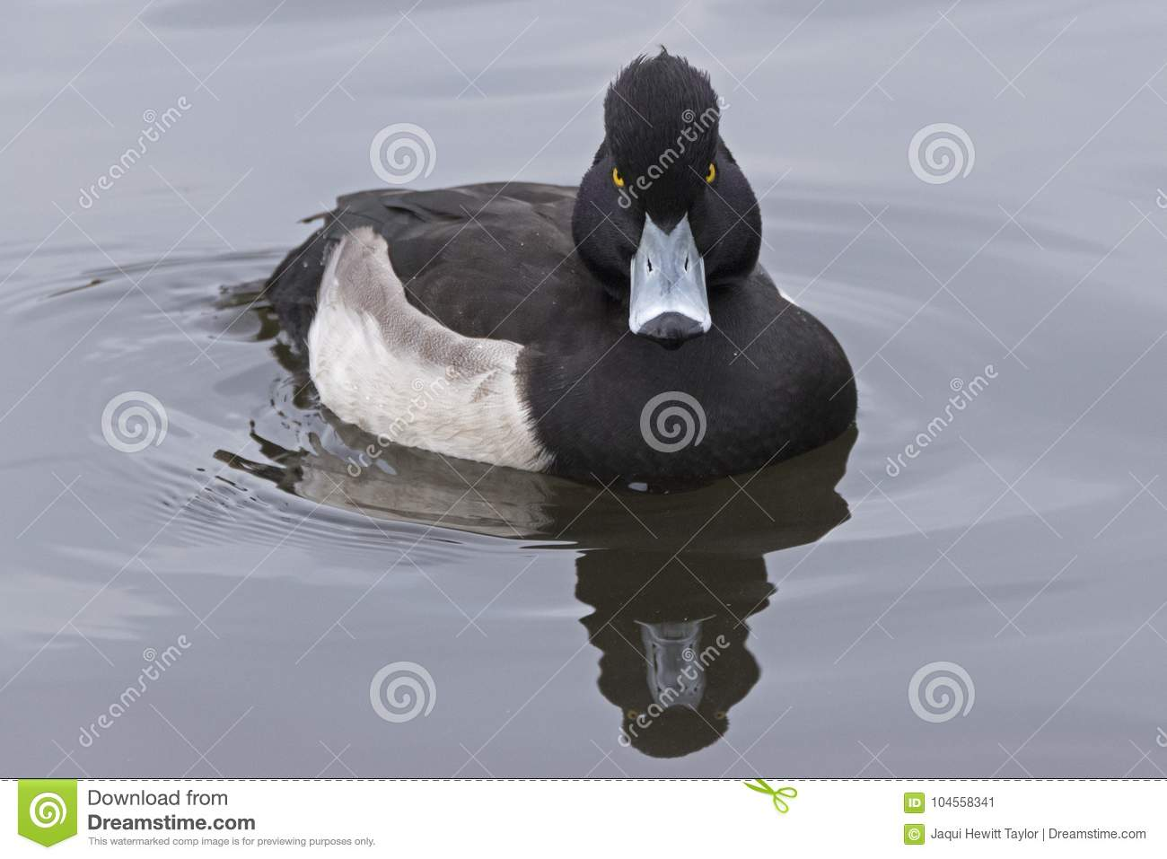 An angry looking Tufted Duck on the Cemetery Lake, Southampton Common