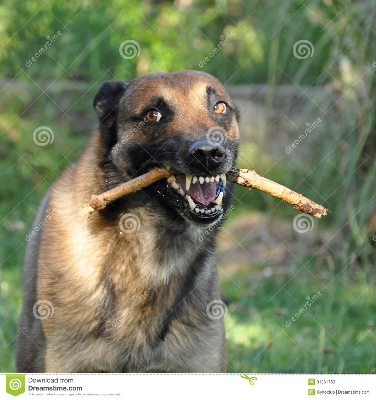 Picture of a purebred angry belgian sheepdog malinois.