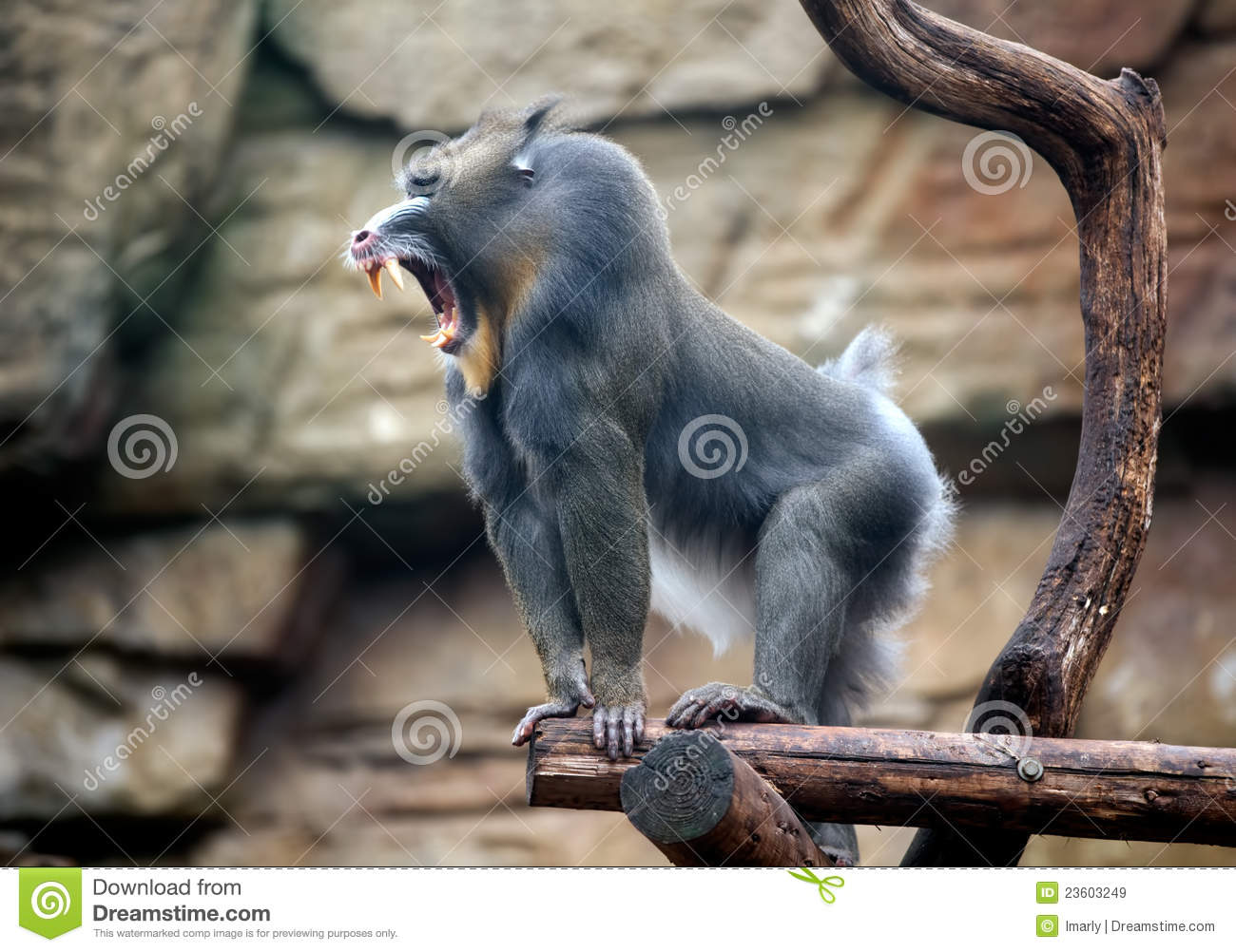 angry mandrill royalty free stock images image 23603249 Devil Frog Frog Meme Screaming