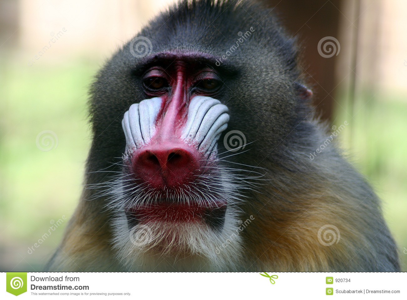 Angry baboon face - photo#21