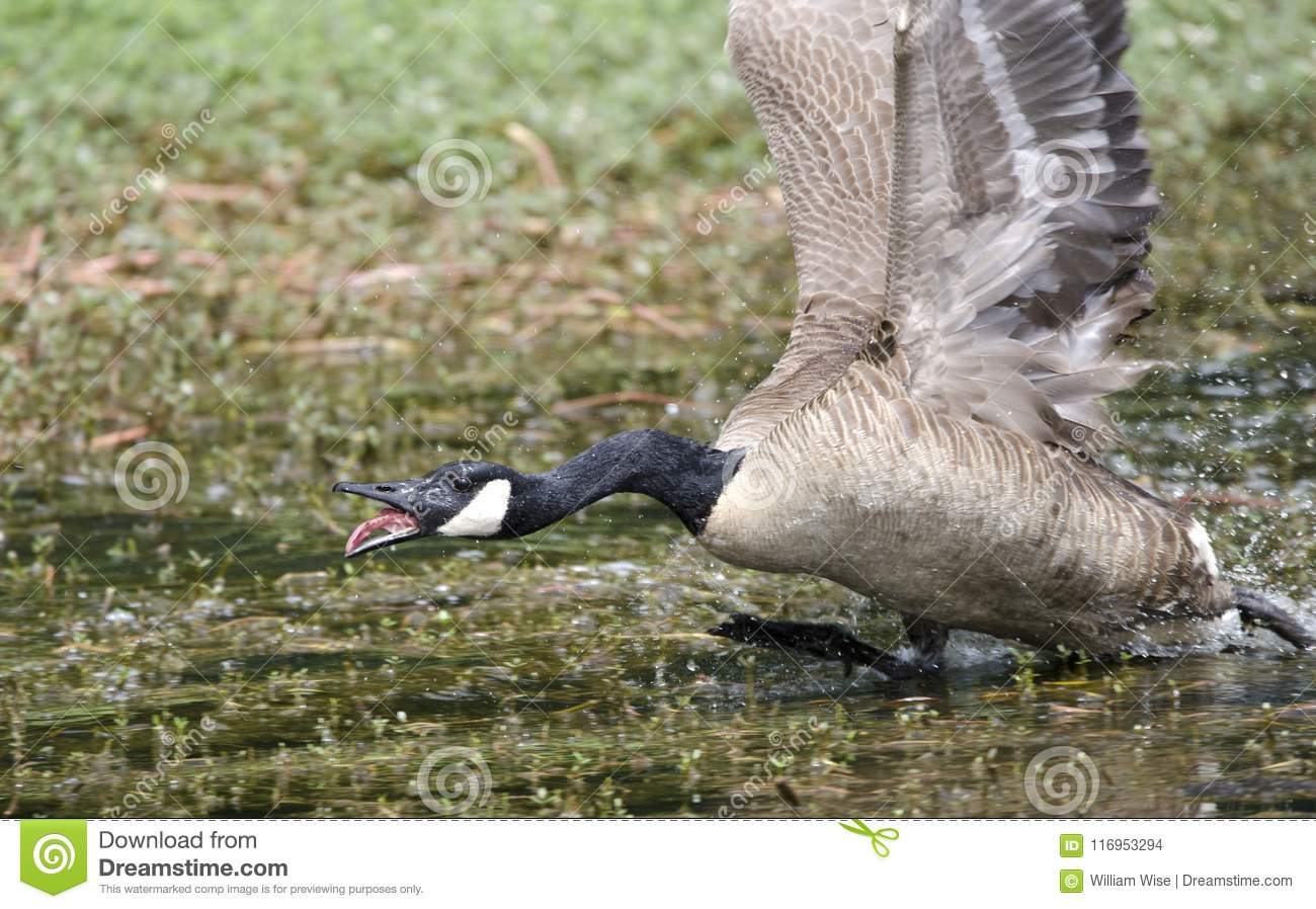 [Image: angry-mother-canada-goose-charging-walto...953294.jpg]