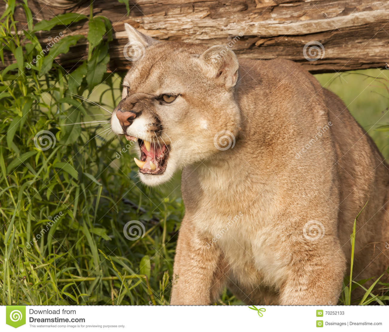 Angry Mountain Lion St...