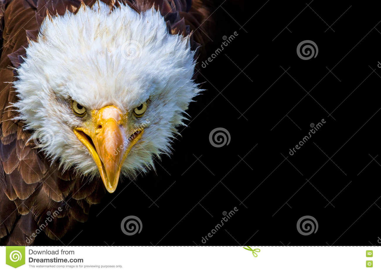 Angry north american bald eagle on black background