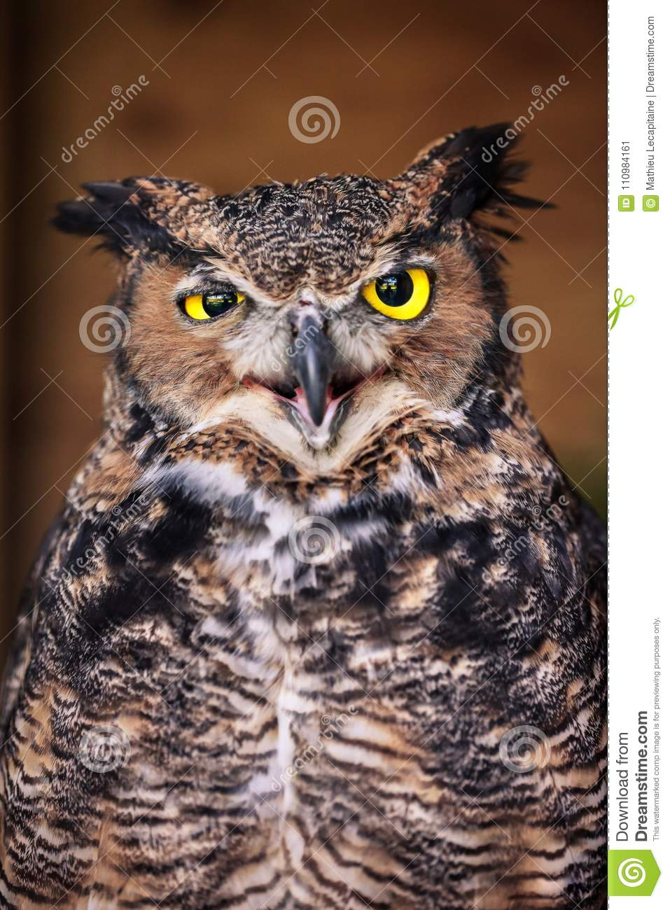 Angry owl close up