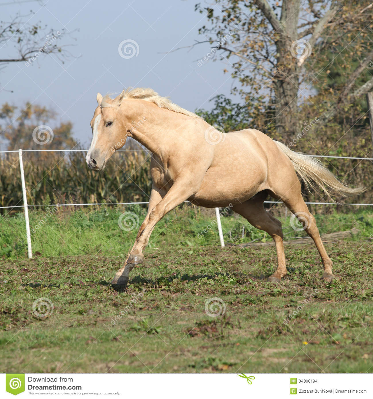 Angry Palomino Horse Attacking Stock Images - Image: 34896194 Palomino Horse Running