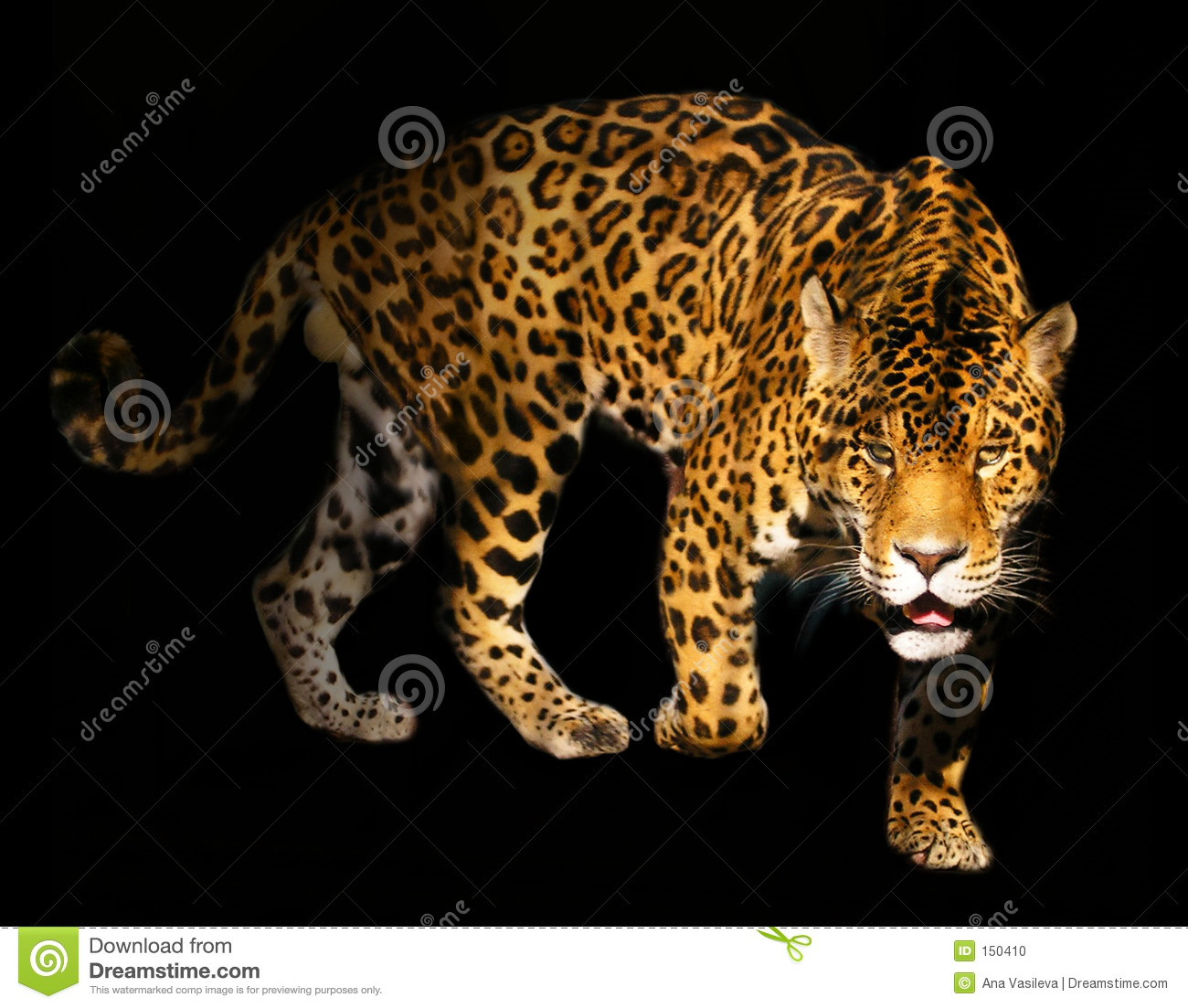 Angry Panther Stock Photo Image Of Spotty Felidae