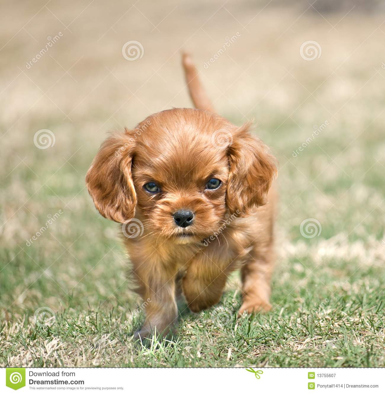 angry puppy 13755607 angry puppy stock image image of aggressive, cavalier 13755607