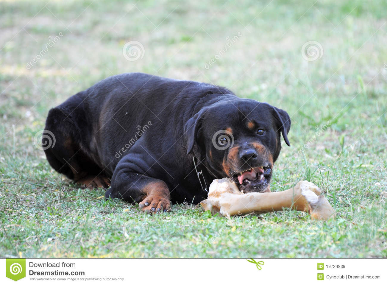 Angry Rottweiler Portrait Of A Purebred With Bone Royalty Free Stock Images