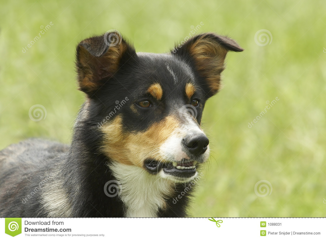 This sheep dog is looking a bit angry please comment after download