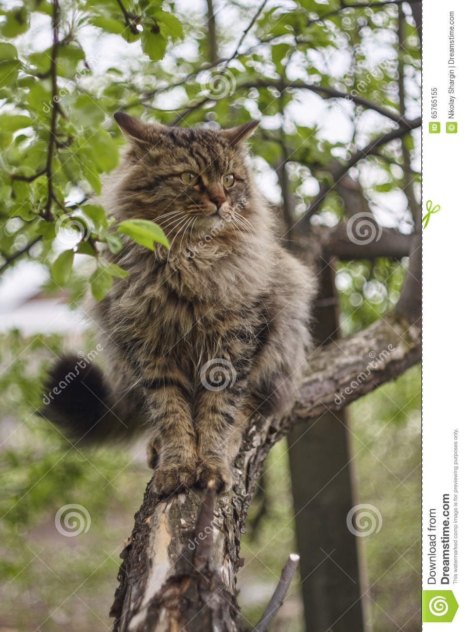 angry siberian cat cat on apple tree close up brown cat stock image image of background. Black Bedroom Furniture Sets. Home Design Ideas
