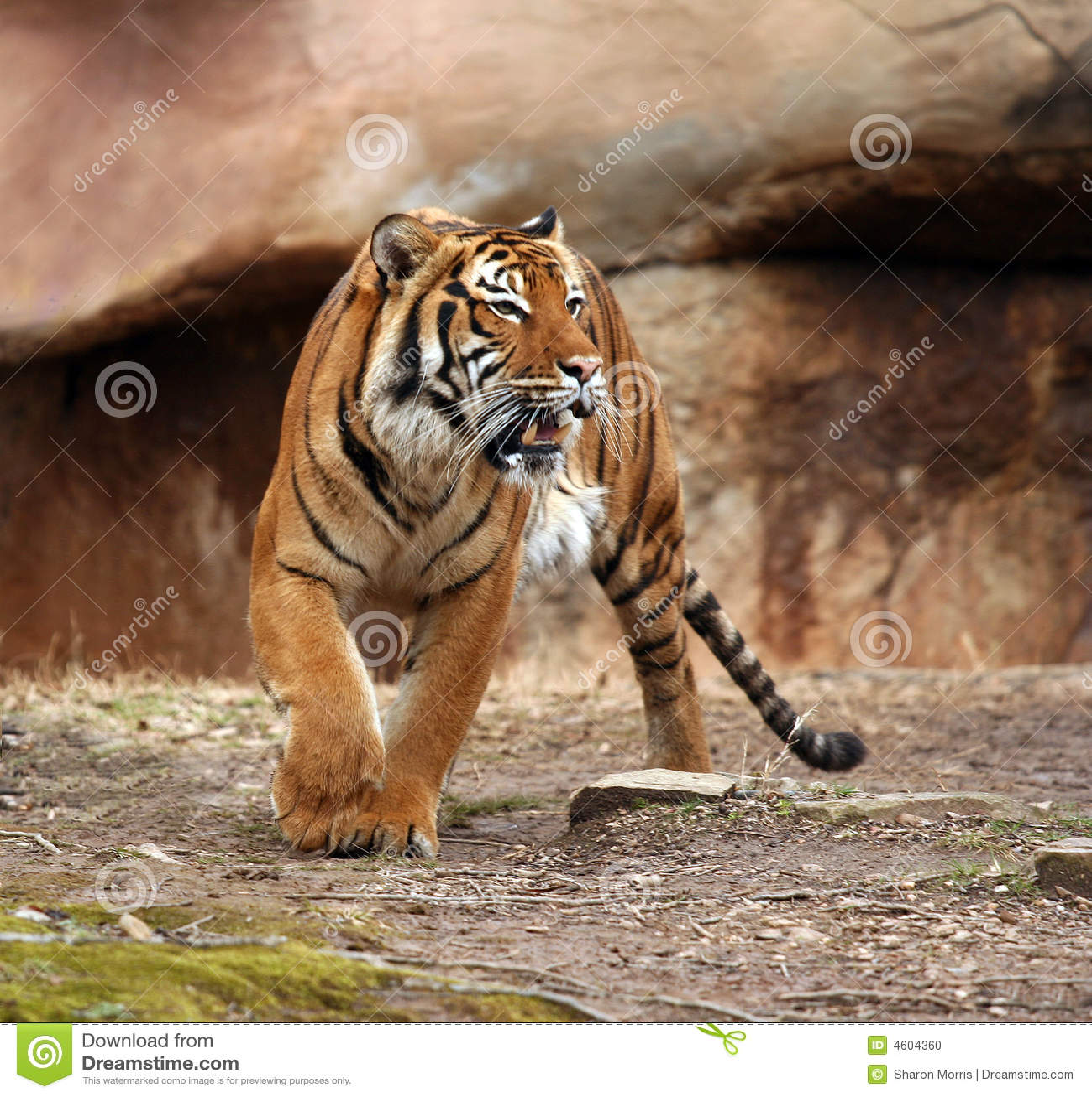 angry tiger stock photo image 4604360