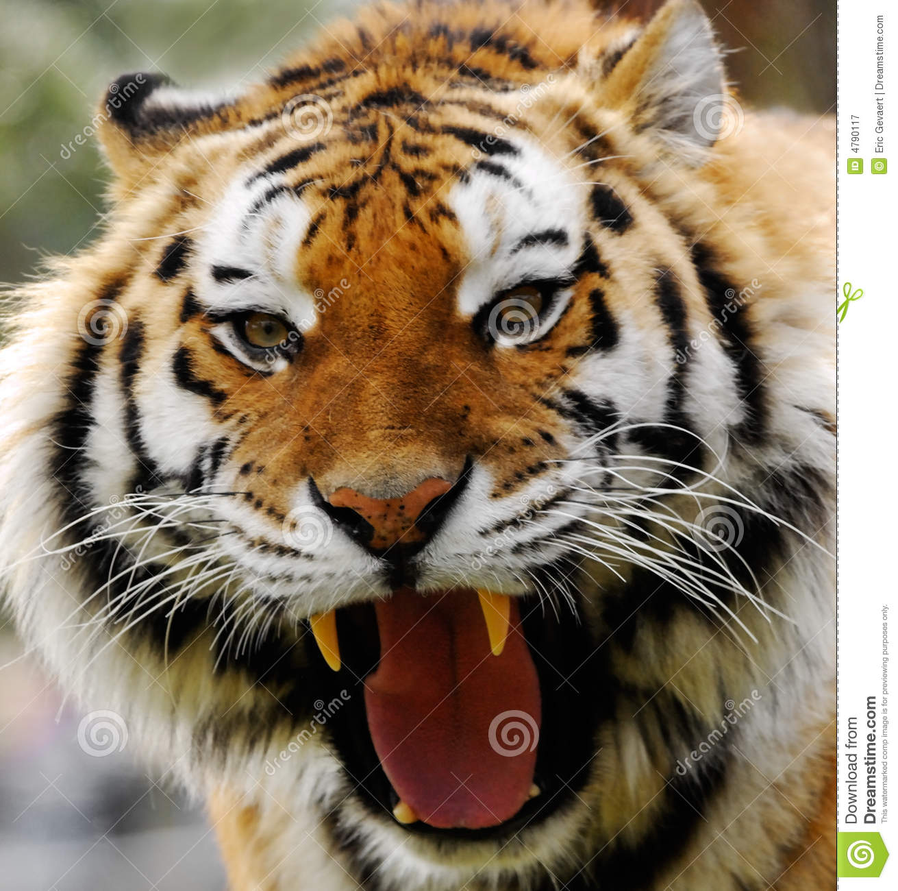 Angry tiger stock image. Image of tigress, teeth, white ...