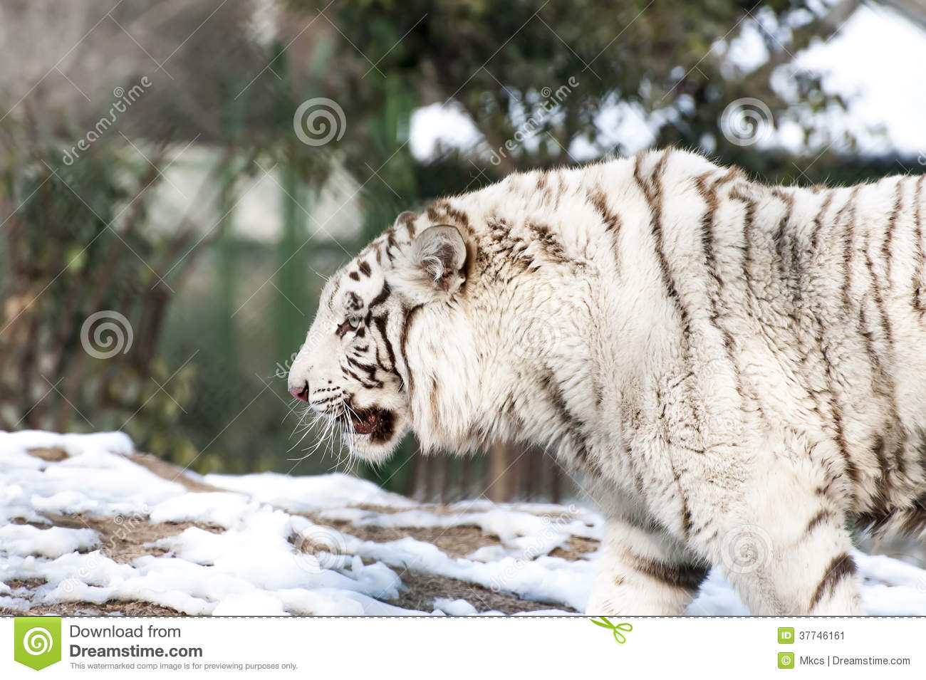 Angry white tiger stock image. Image of chinese, wildlife ...