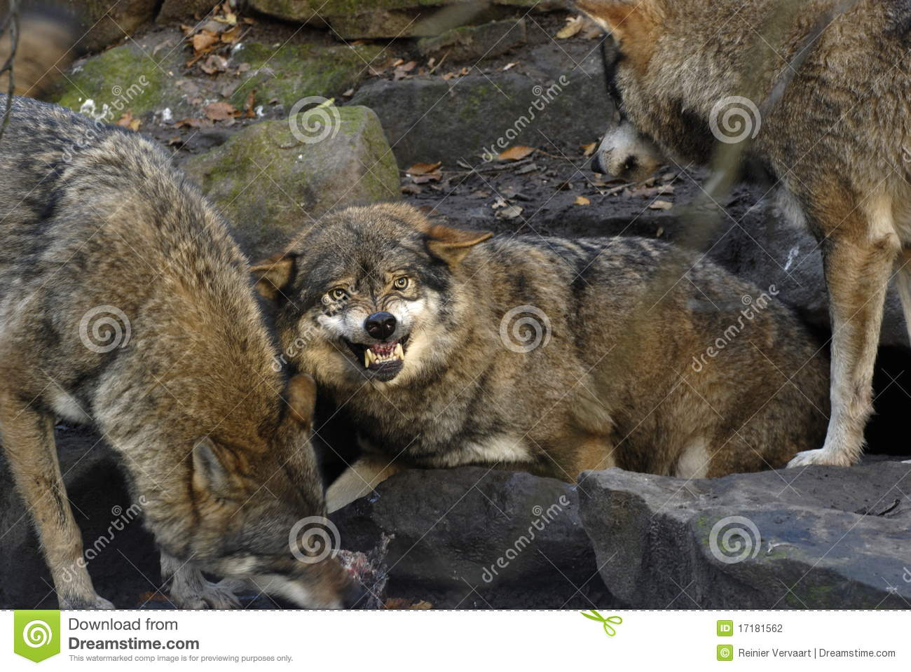 angry wolf stock photo image of aggression leader fresh