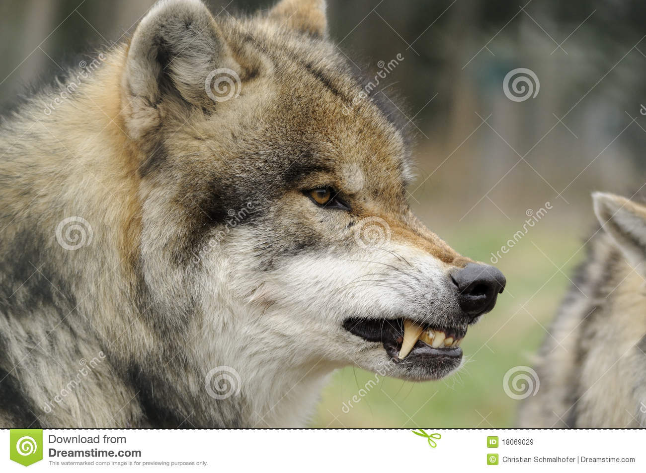Top Wallpaper Angry Gray Wolf - angry-wolf-18069029  Pictures_318068      .jpg