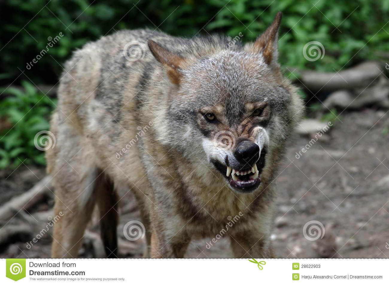 Must see Wallpaper Angry Gray Wolf - angry-wolf-28622903  You Should Have_919338      .jpg