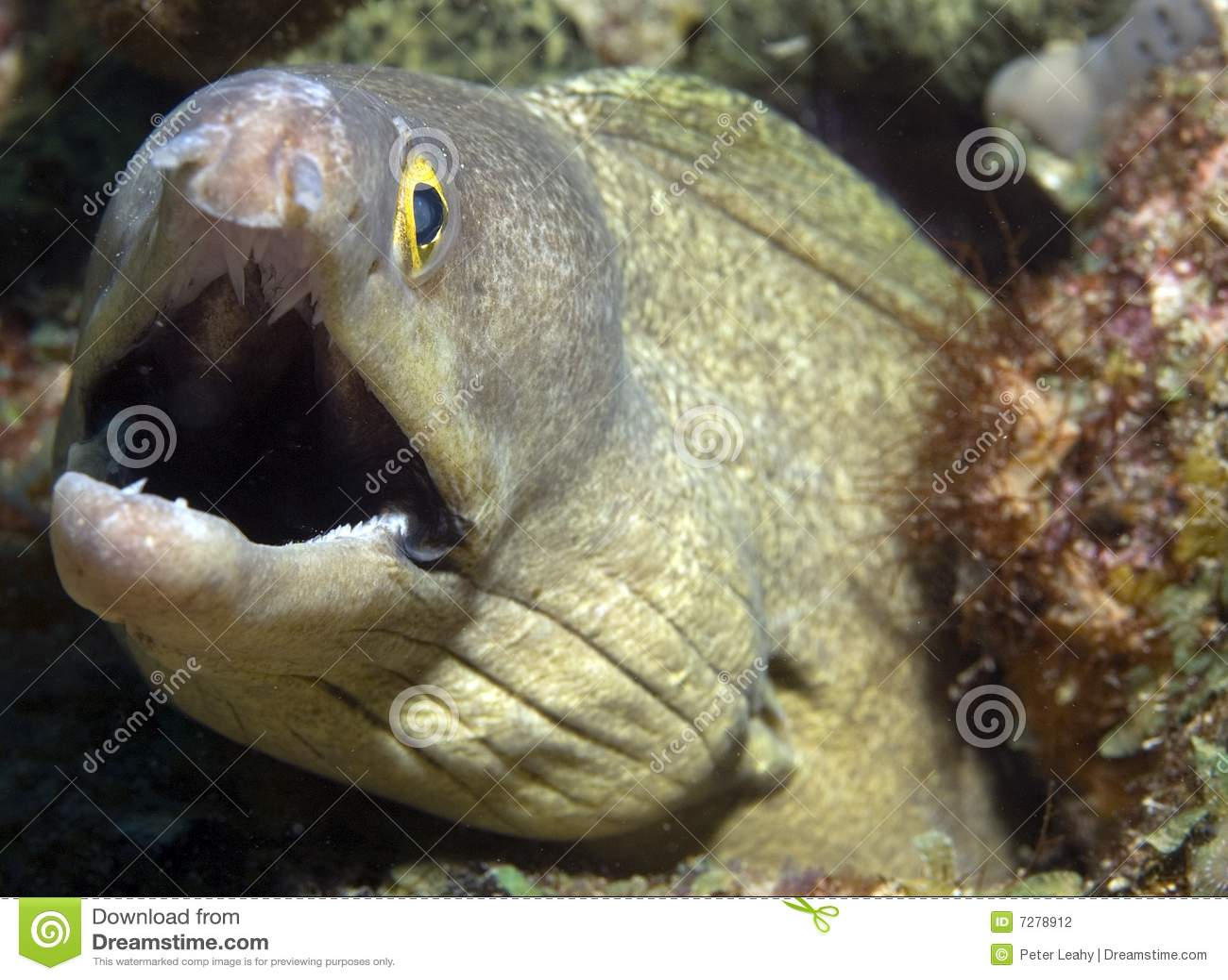 Anguila de Moray púrpura de la boca