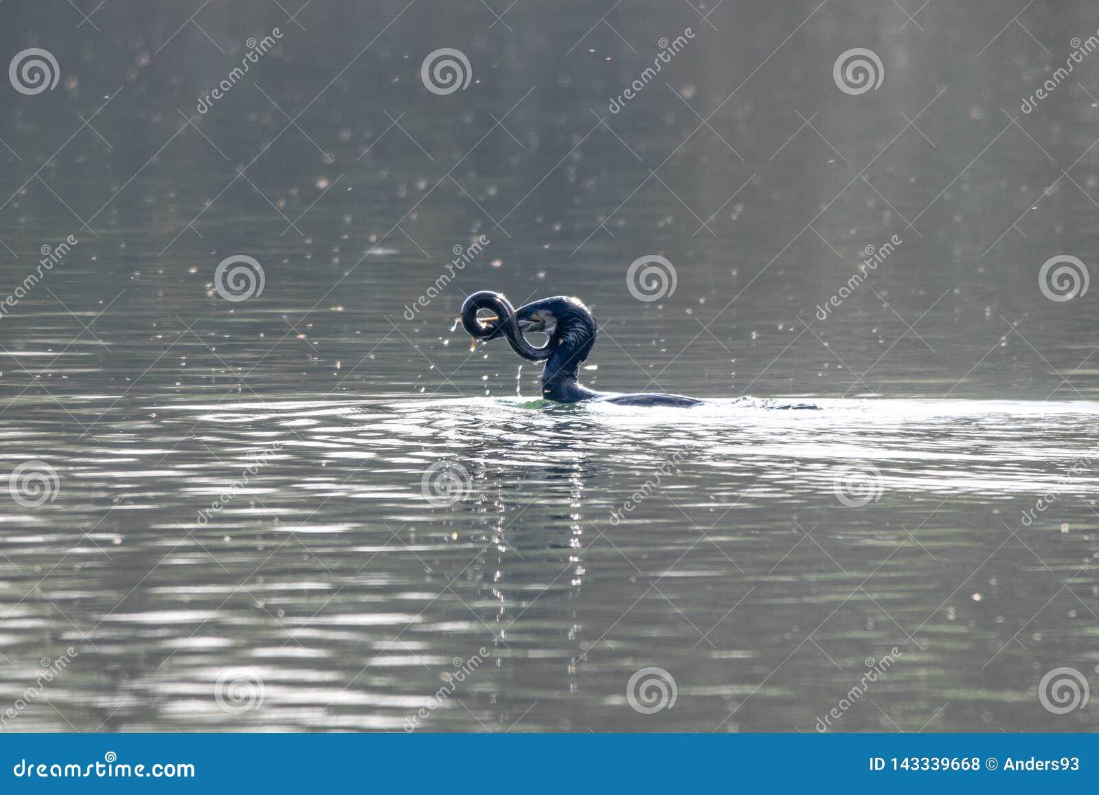 Anguilla d acqua dolce di caccia e di cattura del carbo del Phalacrocorax di Cormorant
