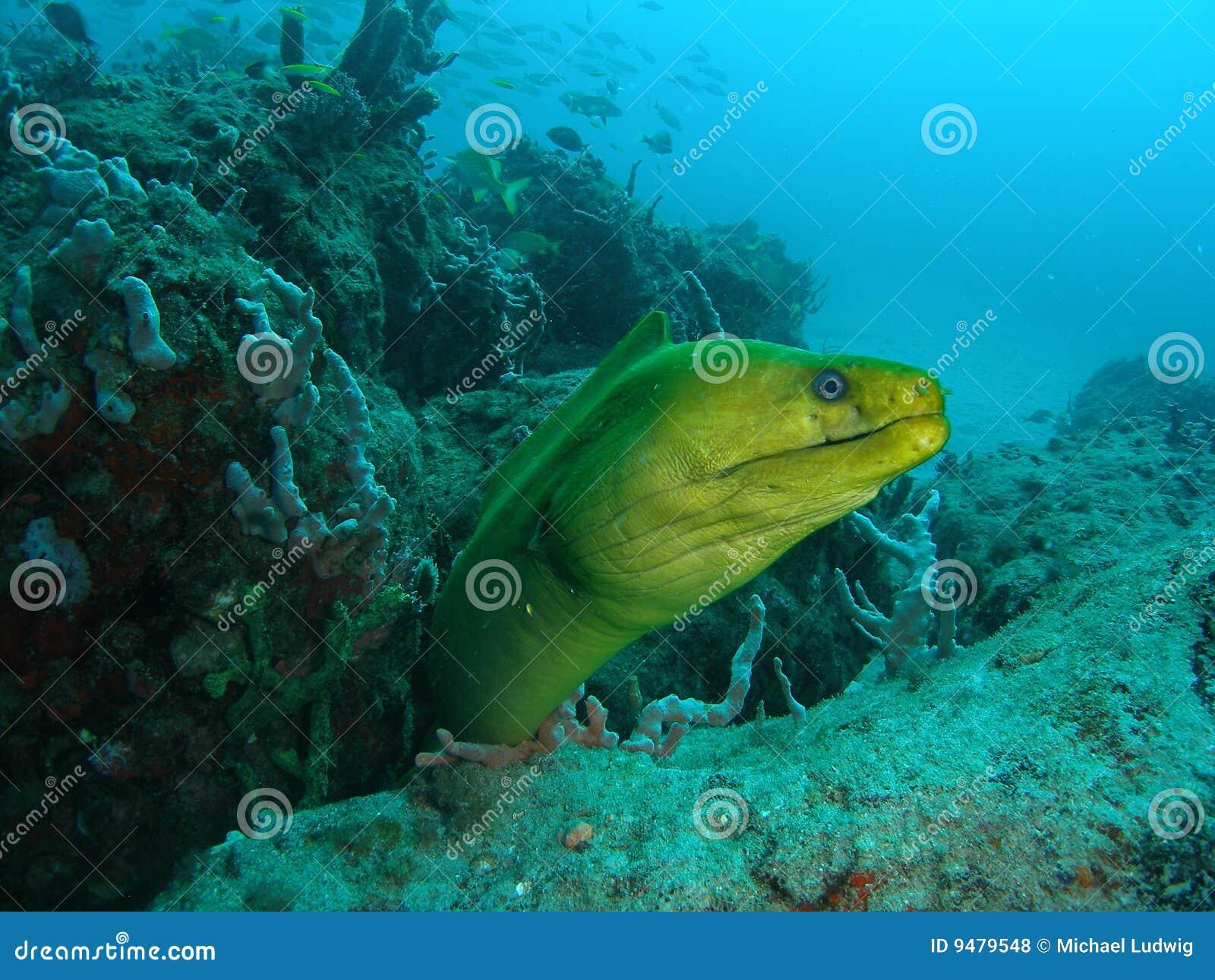 Anguilla di Moray