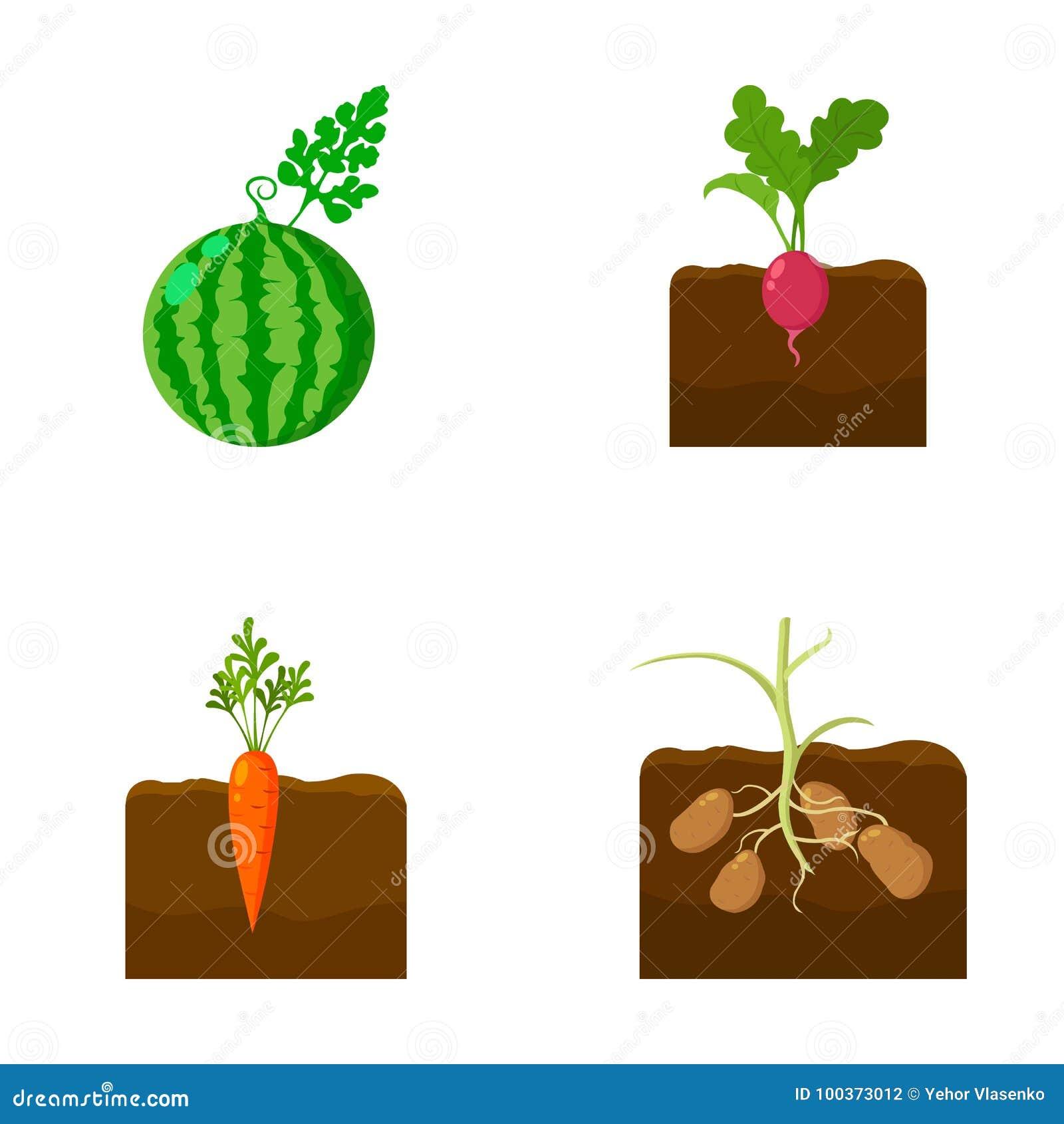Anguria, ravanello, carote, patate Le icone stabilite della raccolta della pianta nello stile del fumetto vector il web di riserv