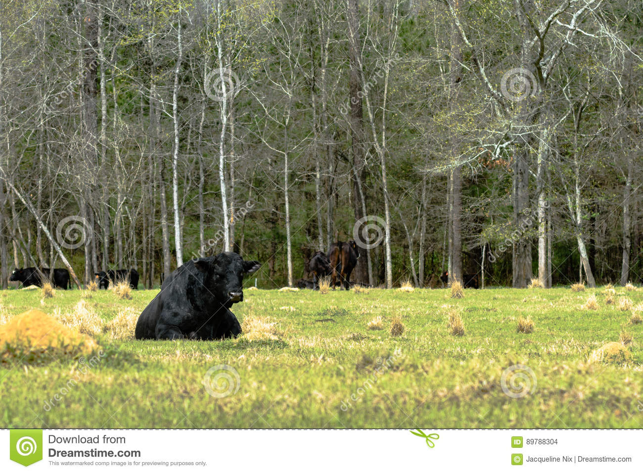 Angus bull lying down in spring pasture