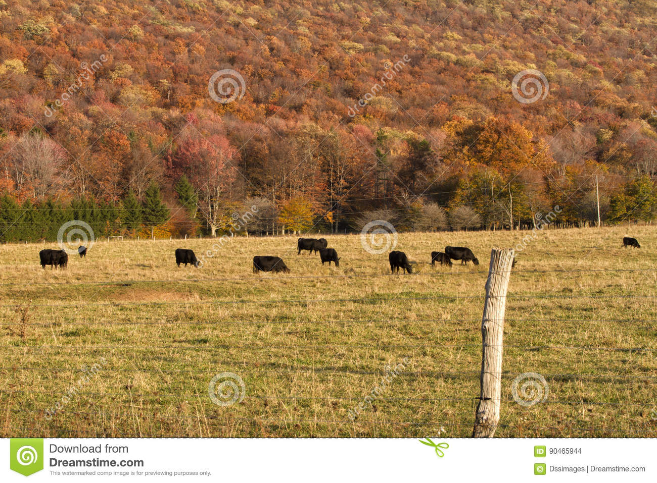 Angus Cattle Grazing med Autumn Background