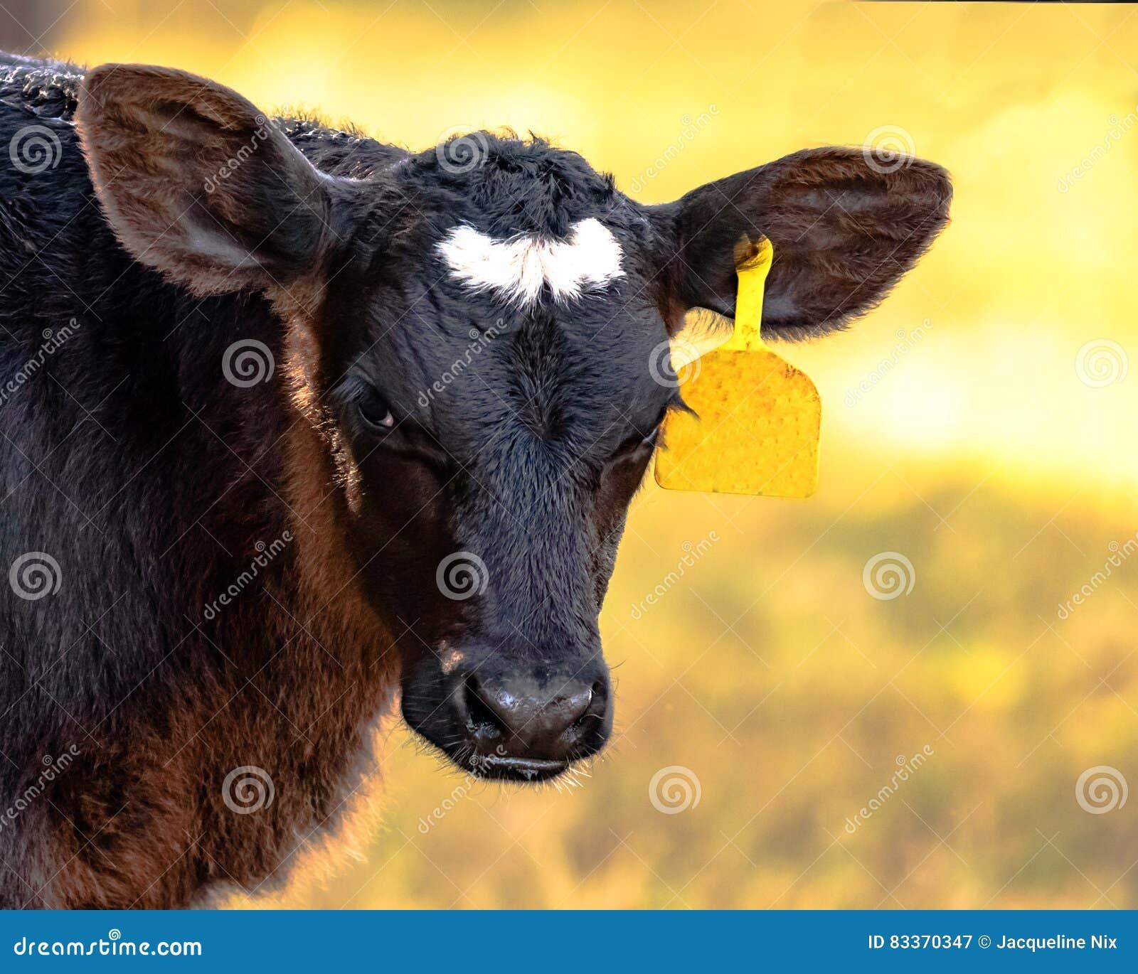 Angus crossbred calf head and neck