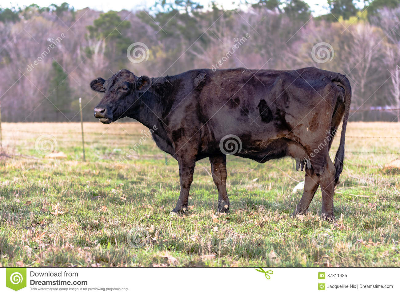 Angus crossbred cow in early spring