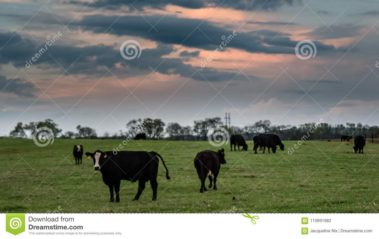 Angus crossbred herd at sunset
