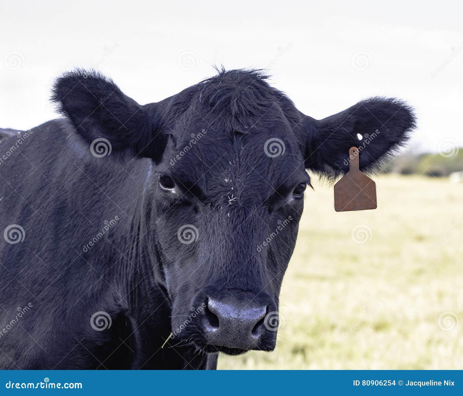 Angus ko som framåtriktat ser