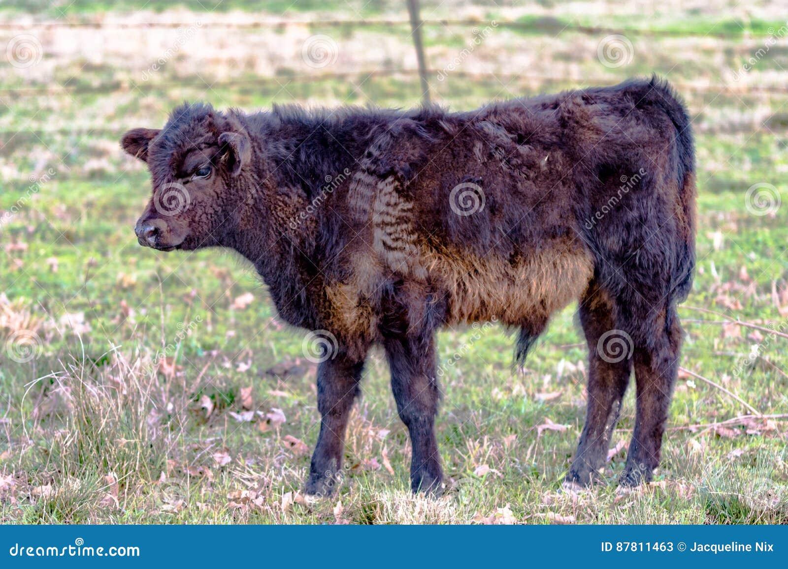 Angus korsade kalven i tidig vår