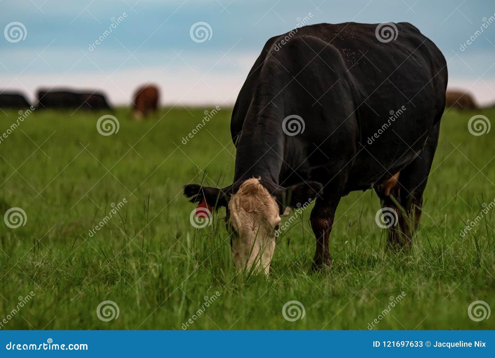 Angus korsade kon som betar frodiga bermudagrass