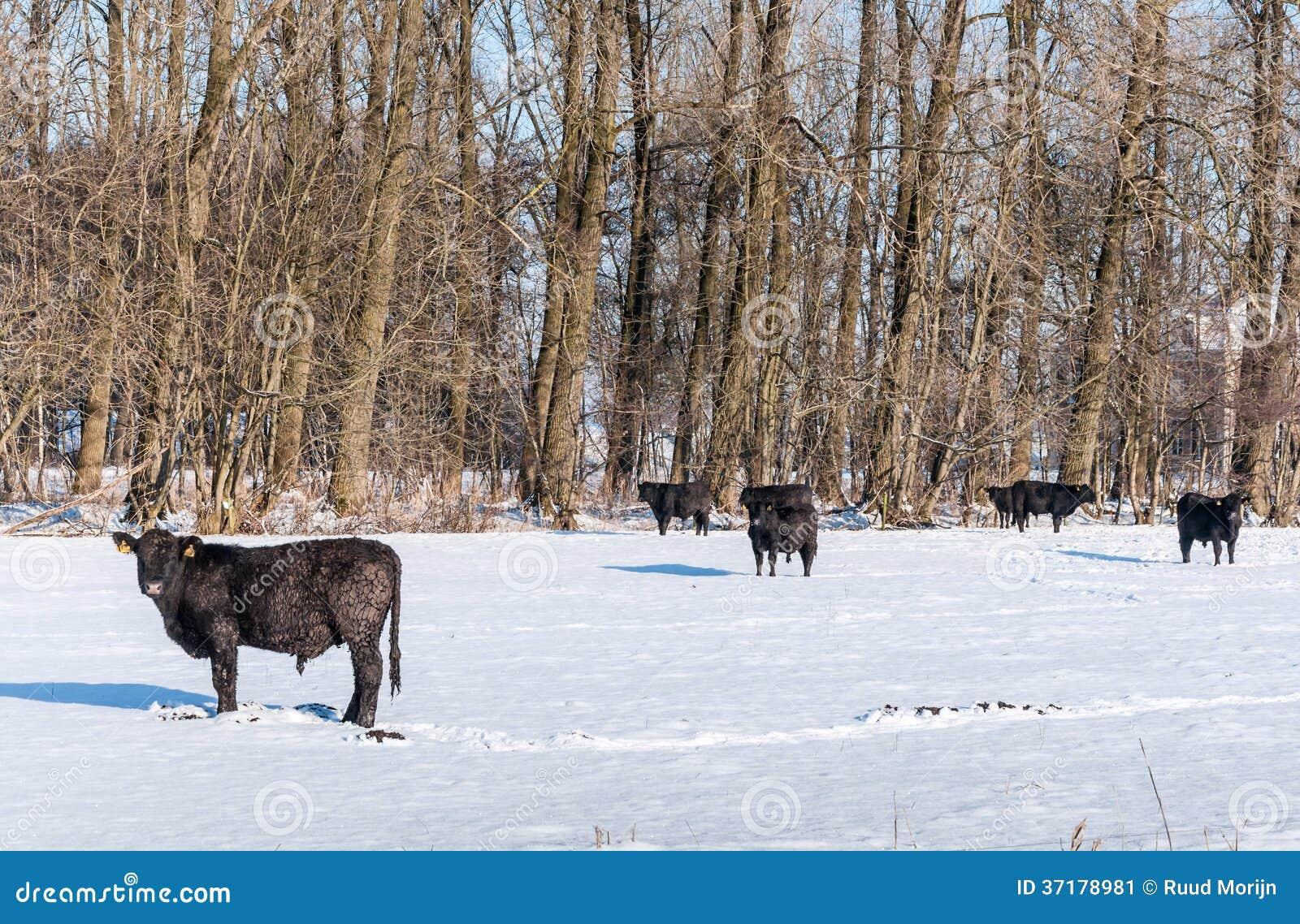 Angus nötkreatur i ursprunglig snö
