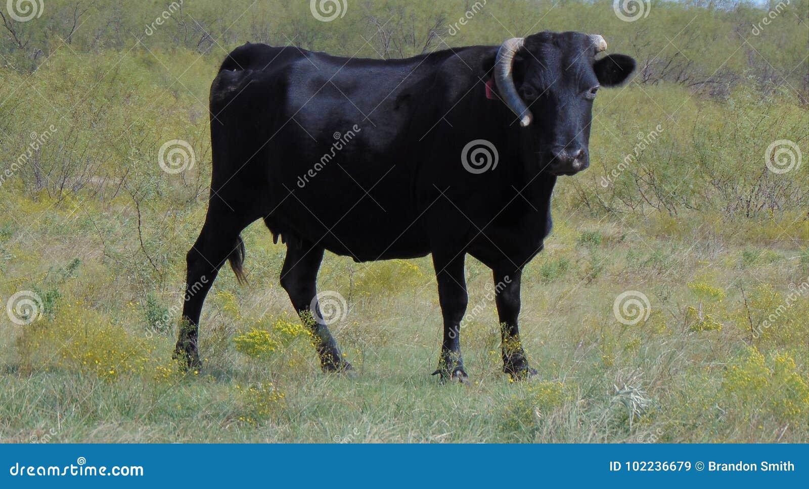 Angus nero con Horn rotto