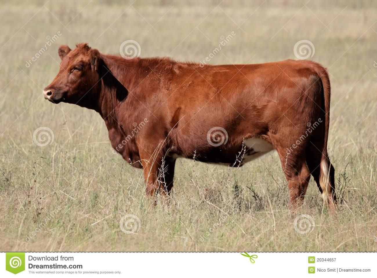 Angus red