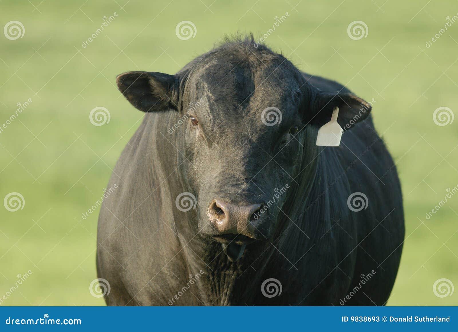 Angus svart tjur