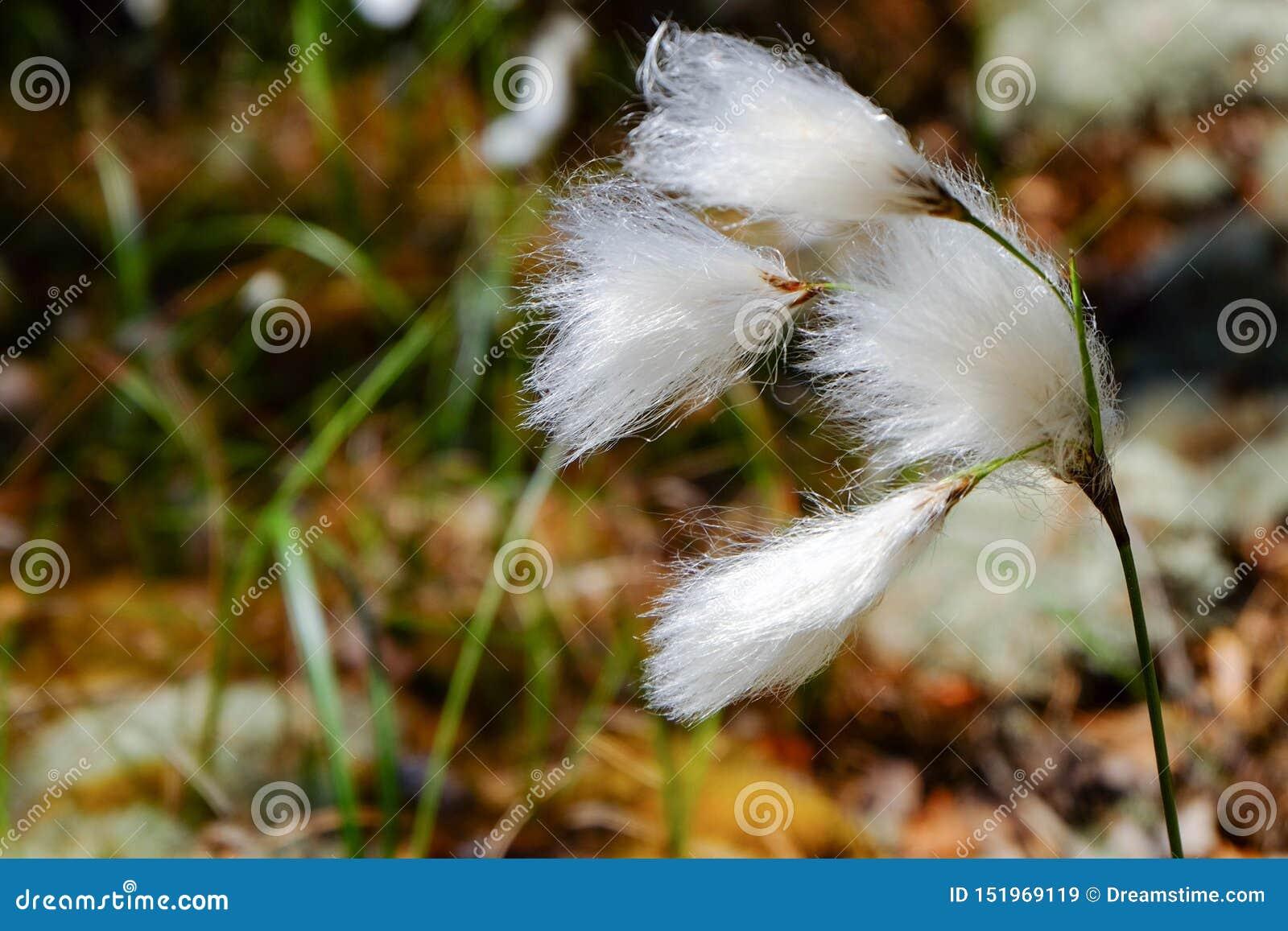 Angustifolium do Eriophorum que funde no vento na natureza de Finlandia