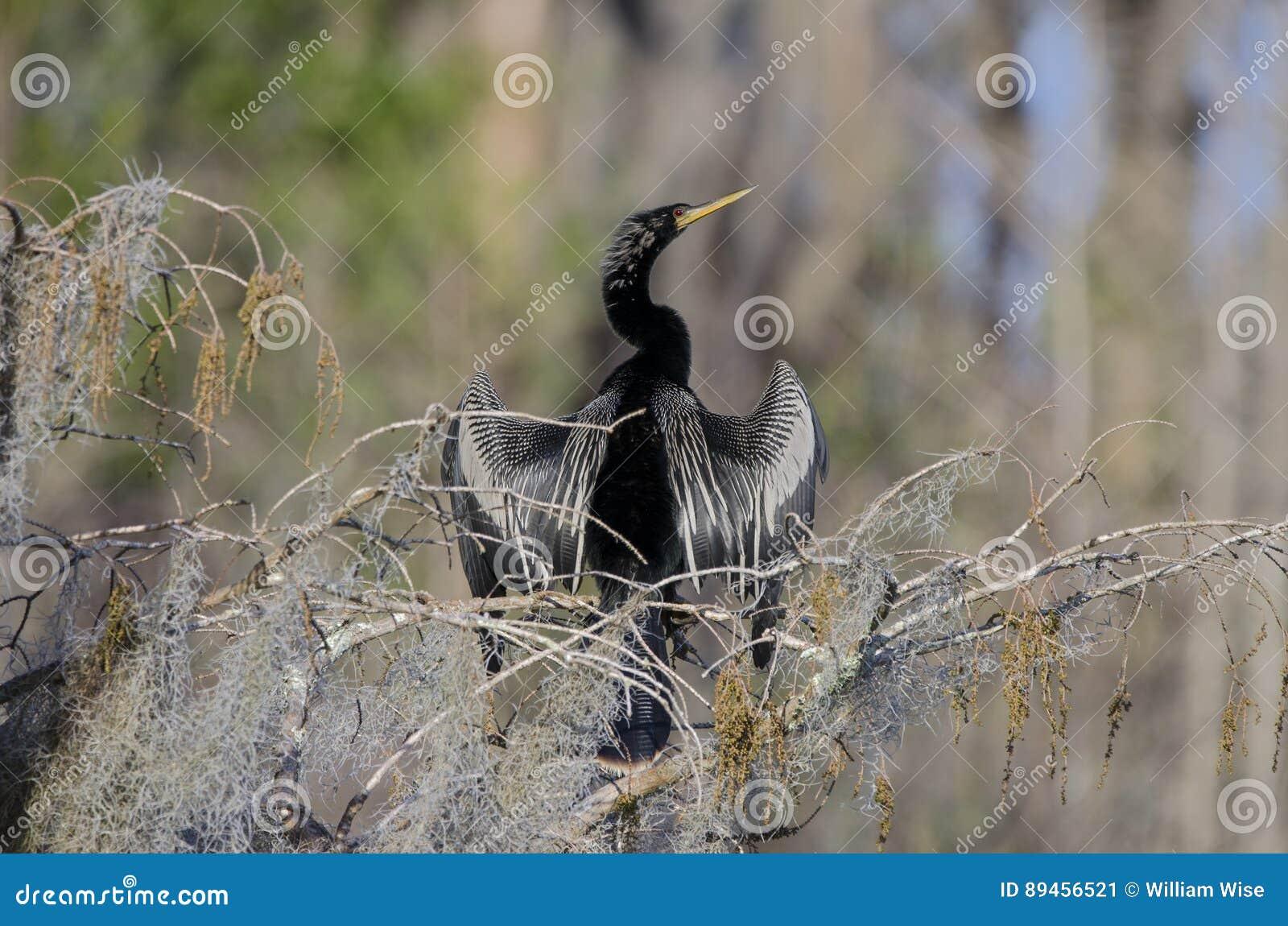 Anhinga Darter Male Breeding Plumage, Okefenokee Swamp