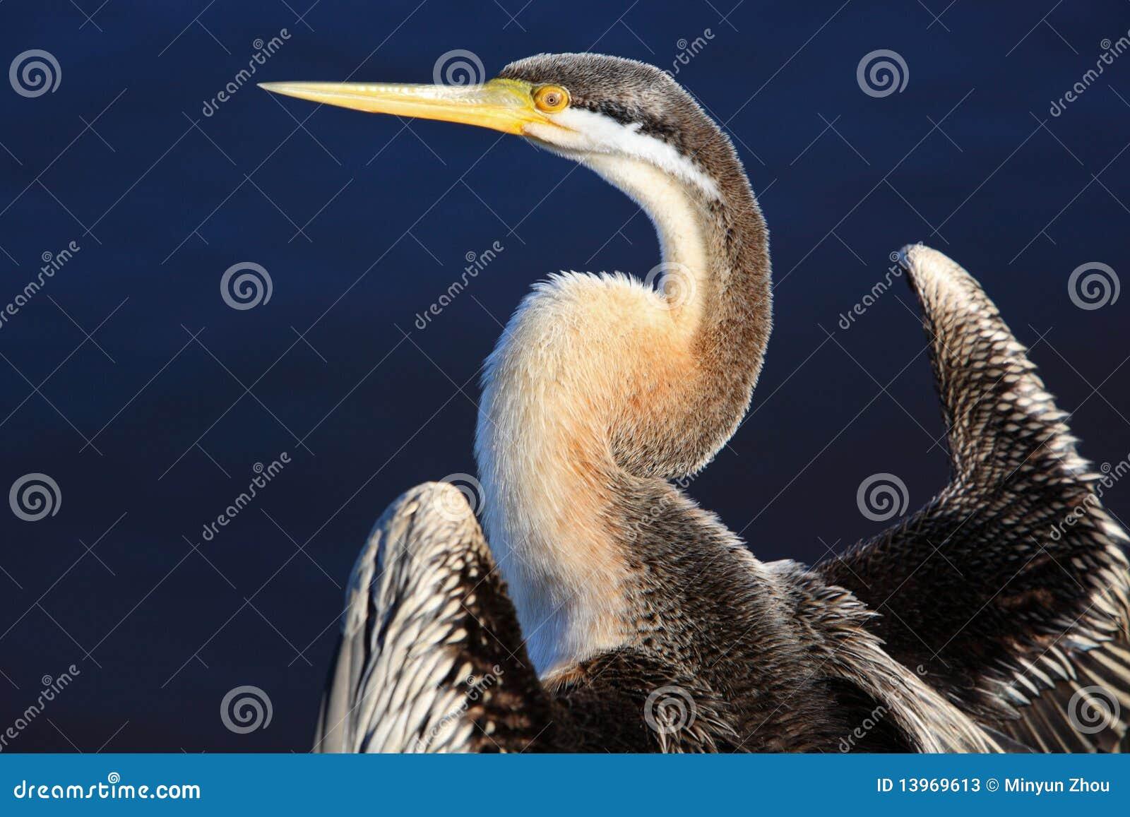 Anhinga, lac swan noir à Perth, Australie