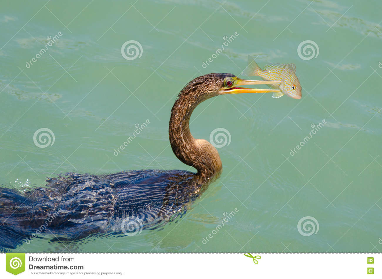 Anhingas bird with speared fish feeding stock photo for How often to feed fish