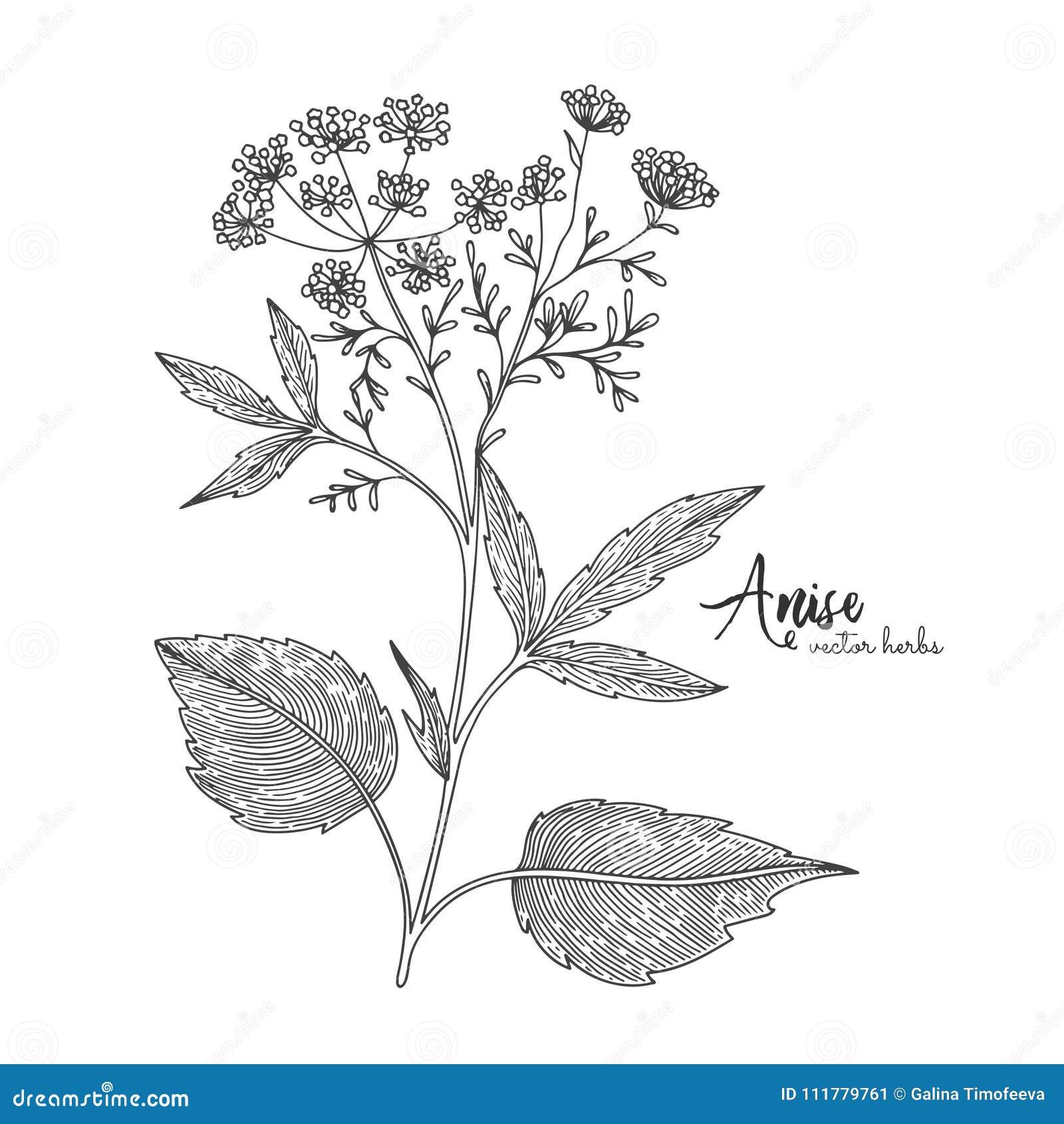 Anijsplant die op witte achtergrond wordt geïsoleerd Kruiden gegraveerde stijlillustratie Gedetailleerde biologisch productschets