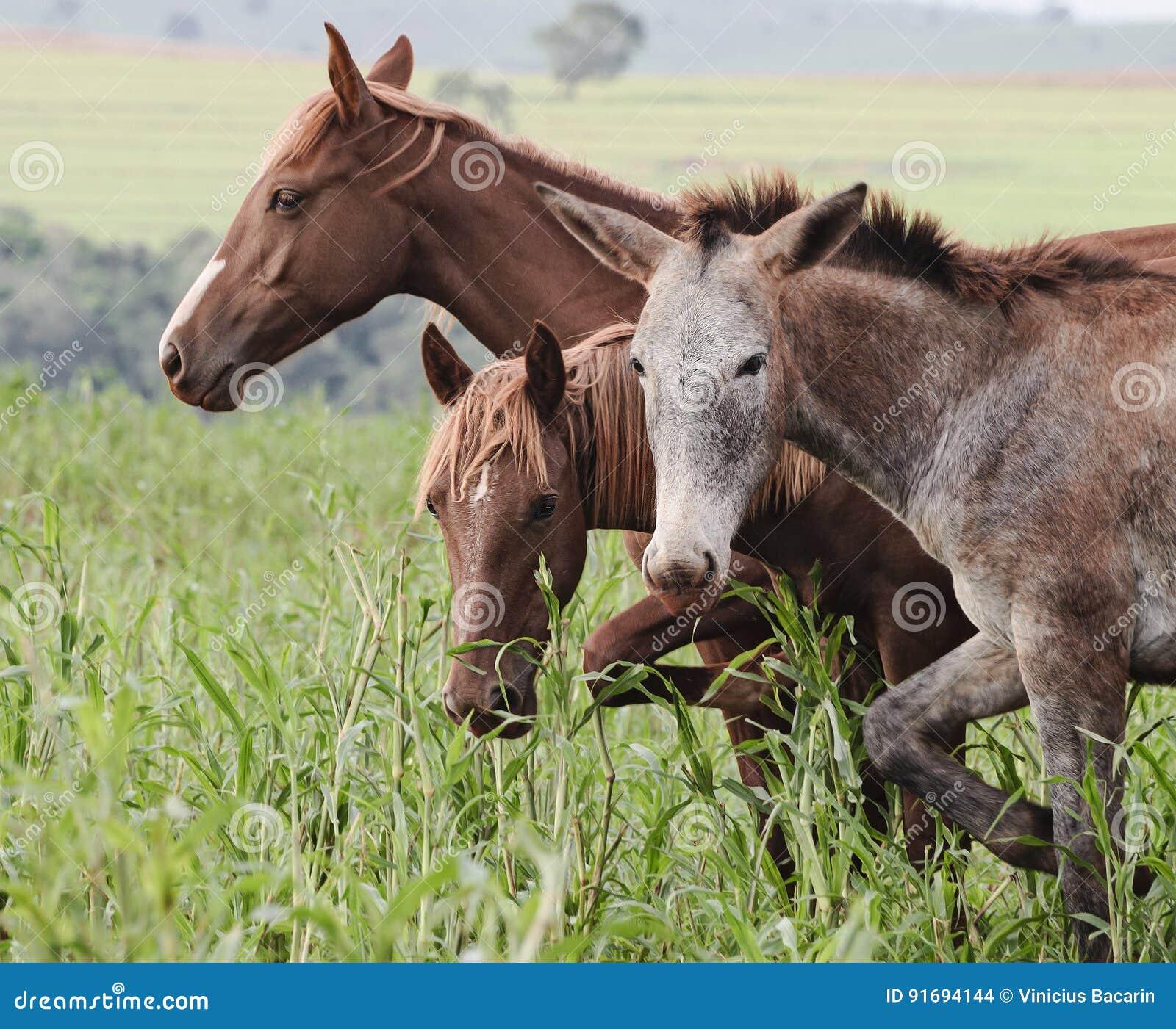 Animais de exploração agrícola: Um asno e dois cavalos