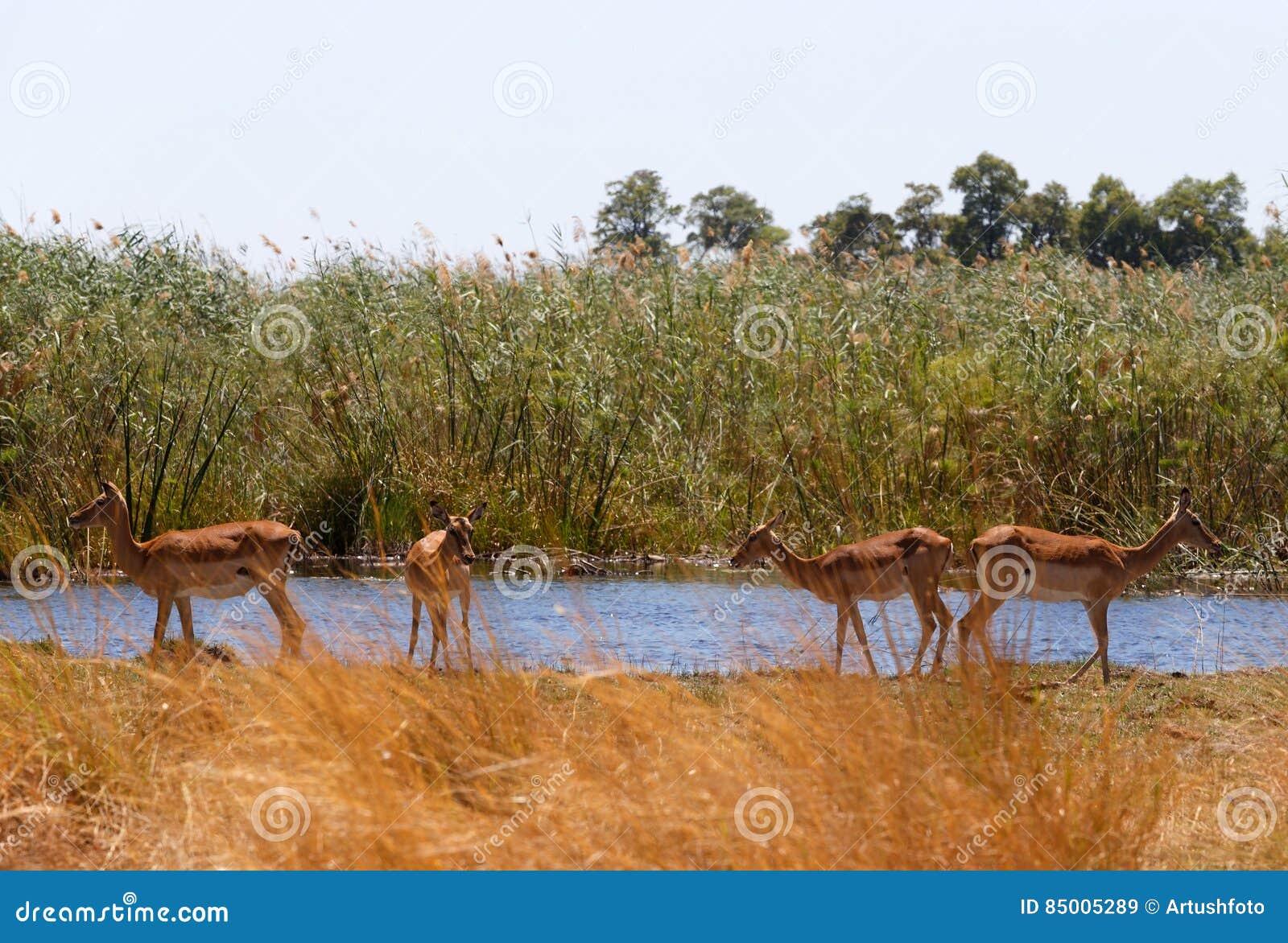 Animais selvagens e região selvagem do safari de África do antílope da impala